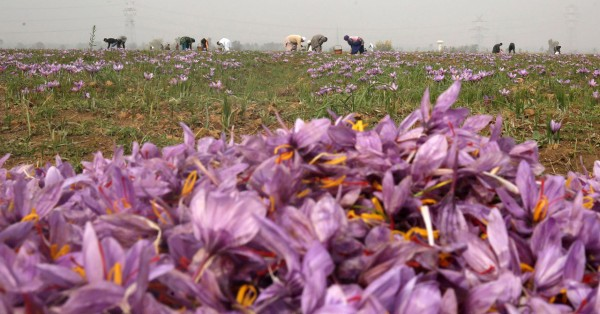 epa05007111 Kashmiri villagers pick saffron flowers from a saffron field in Pampore, some 25 kms south of Srinagar, the summer capital of Indian Kashmir, 02 November 2015. Pampore is famous for its high quality saffron. Kashmir is the only place in India, and one of the few places in the world, where the world's most expensive spice grows.  EPA/FAROOQ KHAN