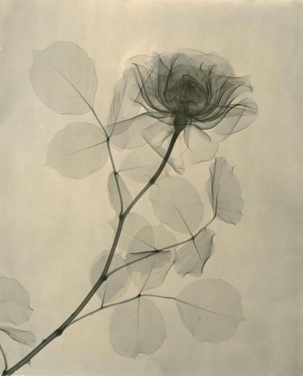 Dr__Dain_L__Tasker_A_Rose_19360