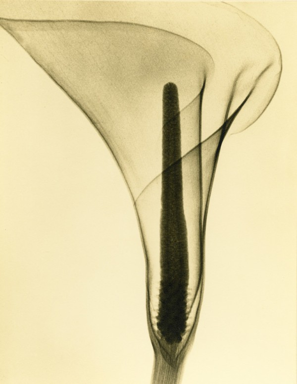 Tasker-X-ray-of-a-Lily-c.-1930s-768x992